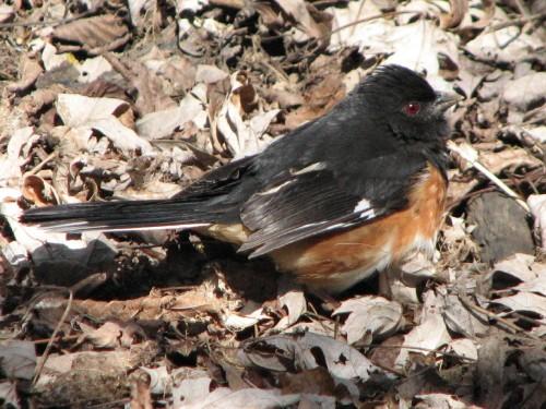 eastern towhee, male