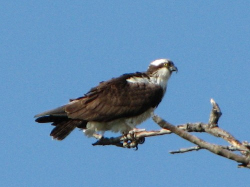 osprey at Earth Day