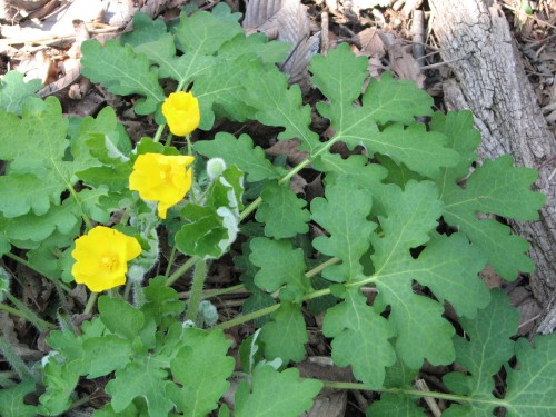 celandine poppy or wood poppy