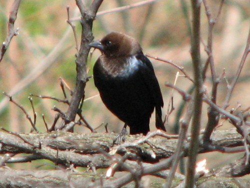 brown-headed cowbird, male, 4/09