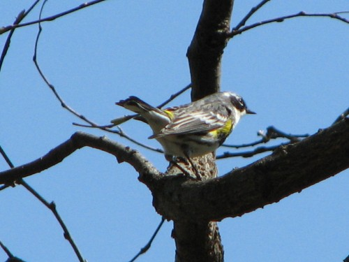 yellow-rumped warbler, male, 4/09