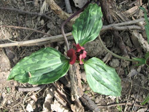 prairie trillium or recurved trillium, 4/27
