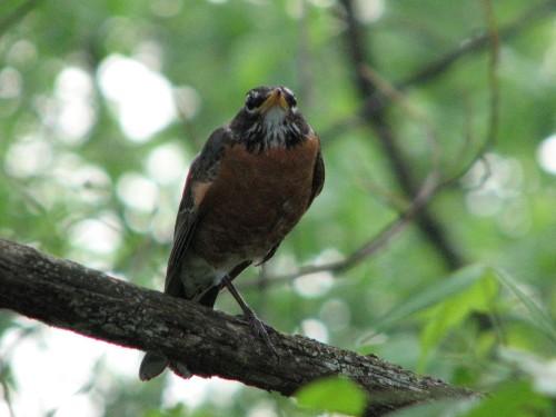 American Robin, 4/27