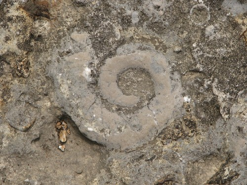 fossil snail at the Falls of the Ohio