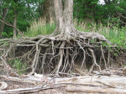 tree roots, 4/09