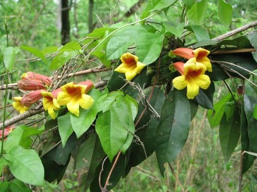 yellow trumpet creeper vine, 5/09