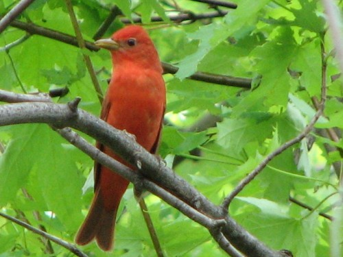 Summer Tanager, male, 5/09