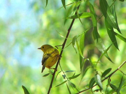 Yellow Warbler, 5/09