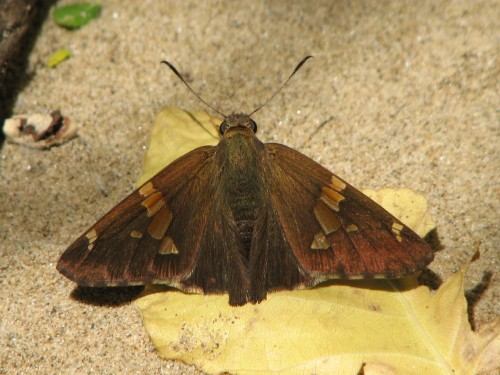 Silver-spotted Skipper, 5/09