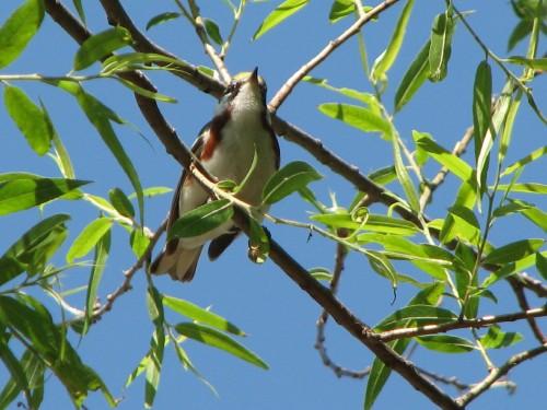 Chestnut-sided Warbler, 5/09