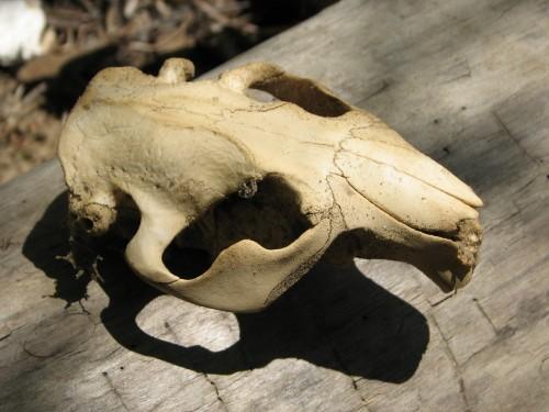 beaver skull, 5/09