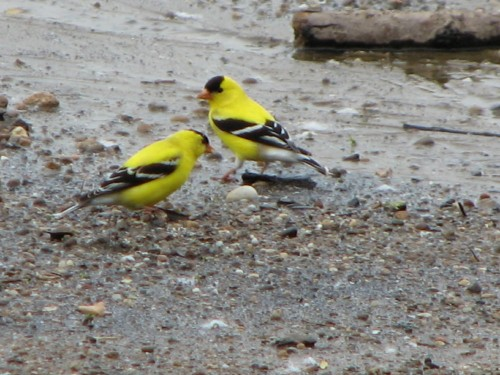 male, American Goldfinches, 5/09
