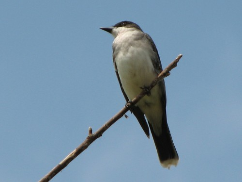 Eastern Kingbird, 5/09