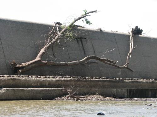 tree on wier dam, 5/09
