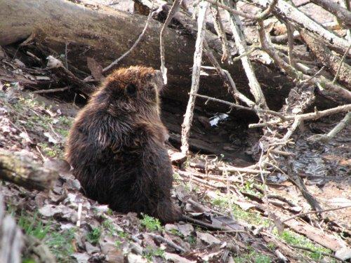 Beaver, Spring 2008