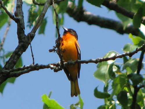 male Northern Oriole singing, 5/08