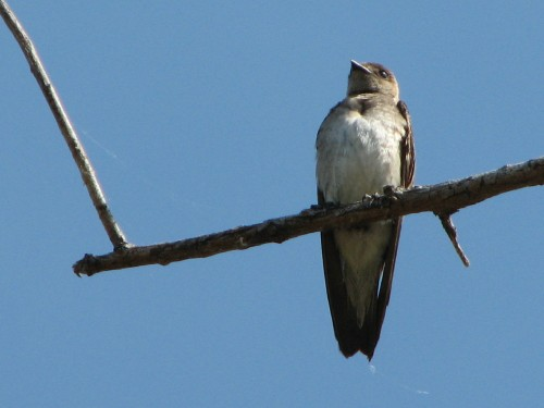 Rough-winged Swallow, 6/09