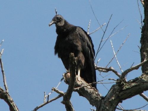 Black Vulture, 6/09