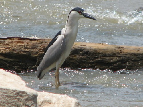 Black-crowned Night Heron, 6/09