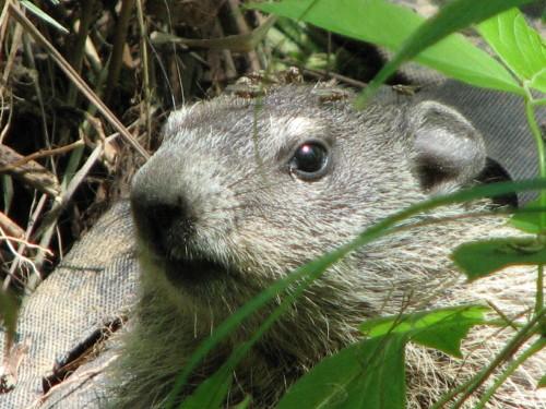 Groundhog Head