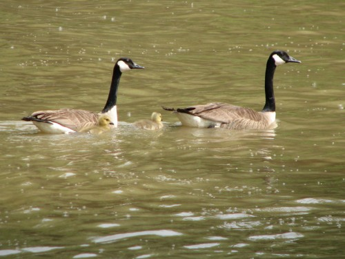 Canada Geese with young