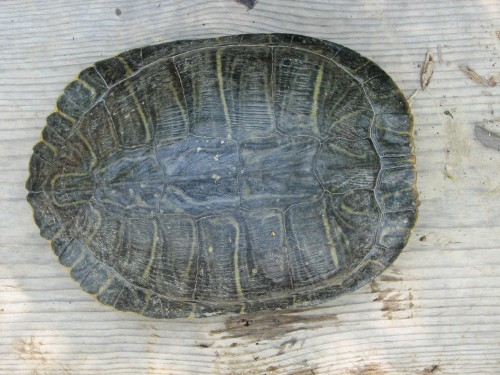 Red-eared Turtle, dorsal view, 6/08
