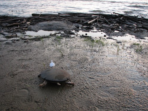 Black Softshell Turtle, 6/08