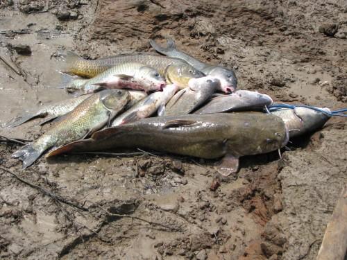 Stringer of fish, 7/09