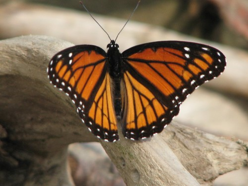 Viceroy butterfly, 7/09