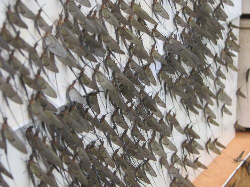 Mayflies, 7/09