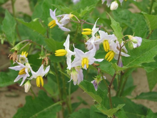 Horse nettle flowering, 7/09