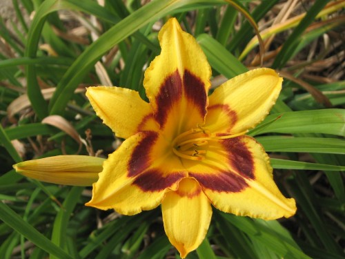 Day lily, 7/09