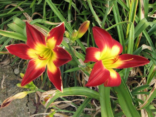 red and yellow daylilies, 7/09
