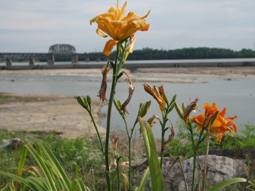 daylilies at the Falls, 7/09