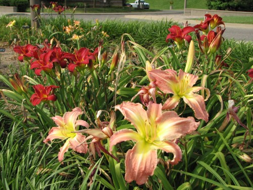 Day lilies, 7/09