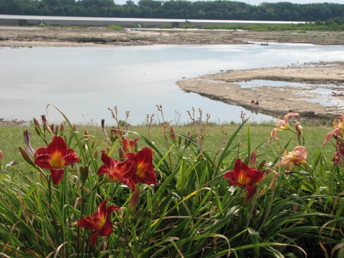 deep red daylilies, 7/09