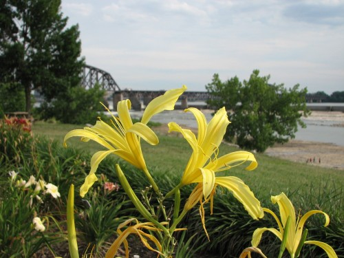 Yellow spider-lilies, 7/09