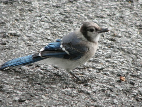 young Bluejay, 7/09