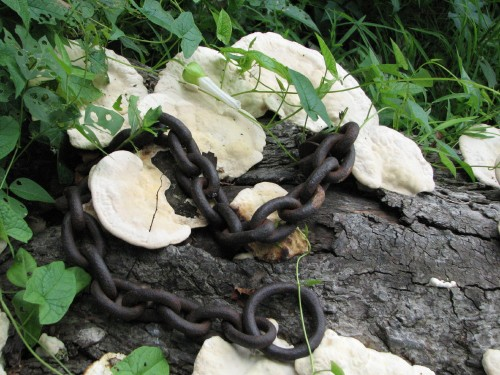 shelf fungus with chains, 7/09