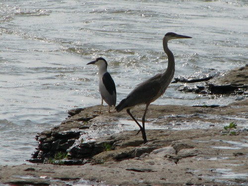 Herons at the Falls, 6/08