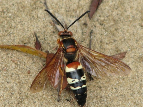 Cicada Killer, male, 8/09