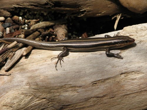 Five-lined Skink, 8/09