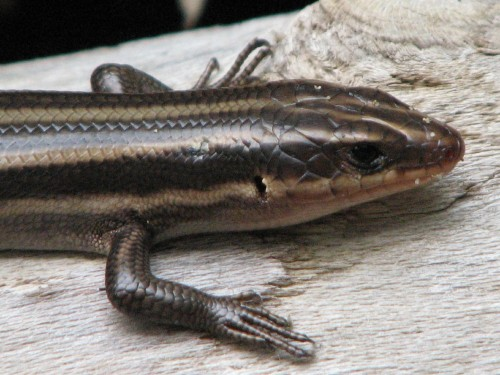 Five-lined Skink, detail, 8/09