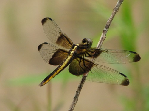 dragonfly, 8/09