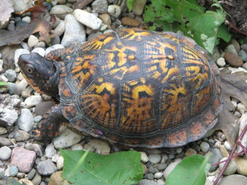 Eastern box turtle, 8/09