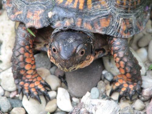 head of box turtle, 8/09