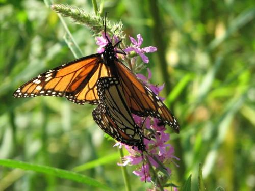 mating Monarch butterflies, 8/09