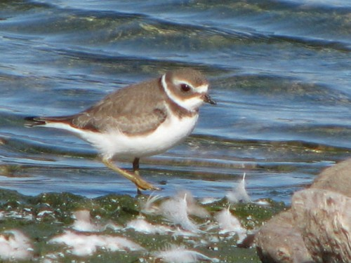 Semipalmated Plover, juvenile, 9/09