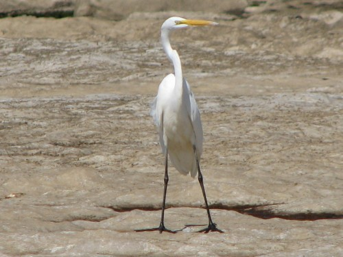 Great Egret, 5/07