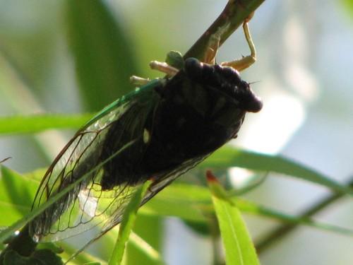 Cicada, 9/09